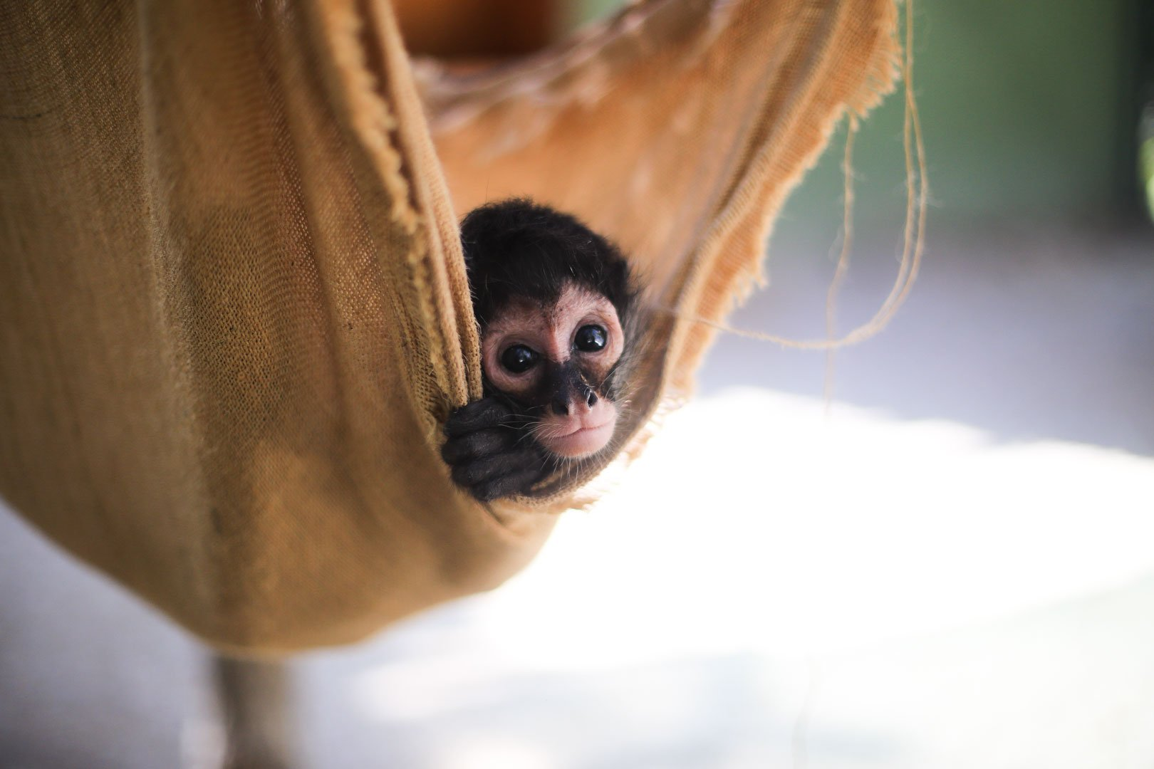 Save Spider Monkey
